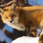 Охота на лисицу с манком