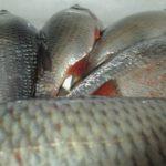 Боковая линия и клёв рыбы