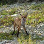 Лисица в рукавице. Рассказ про охоту на лисицу.