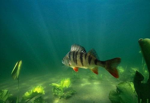 Полосатый хищник наших рек - окунь