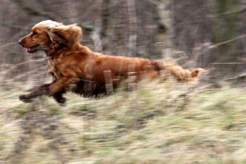 Спаниели в охоте на фазана