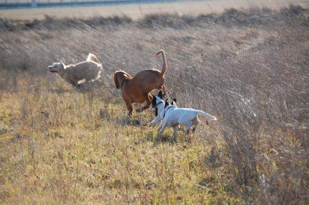 Смотреть фото охоты на фазана с собакой