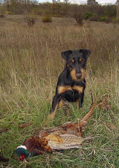 Собаки для охоты на фазана