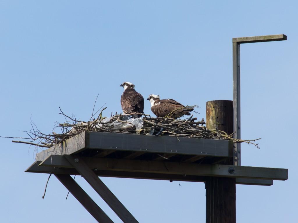 скопа гнездо
