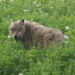 Волк - браконьер интернациональный