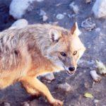 Шакал - младший брат волка