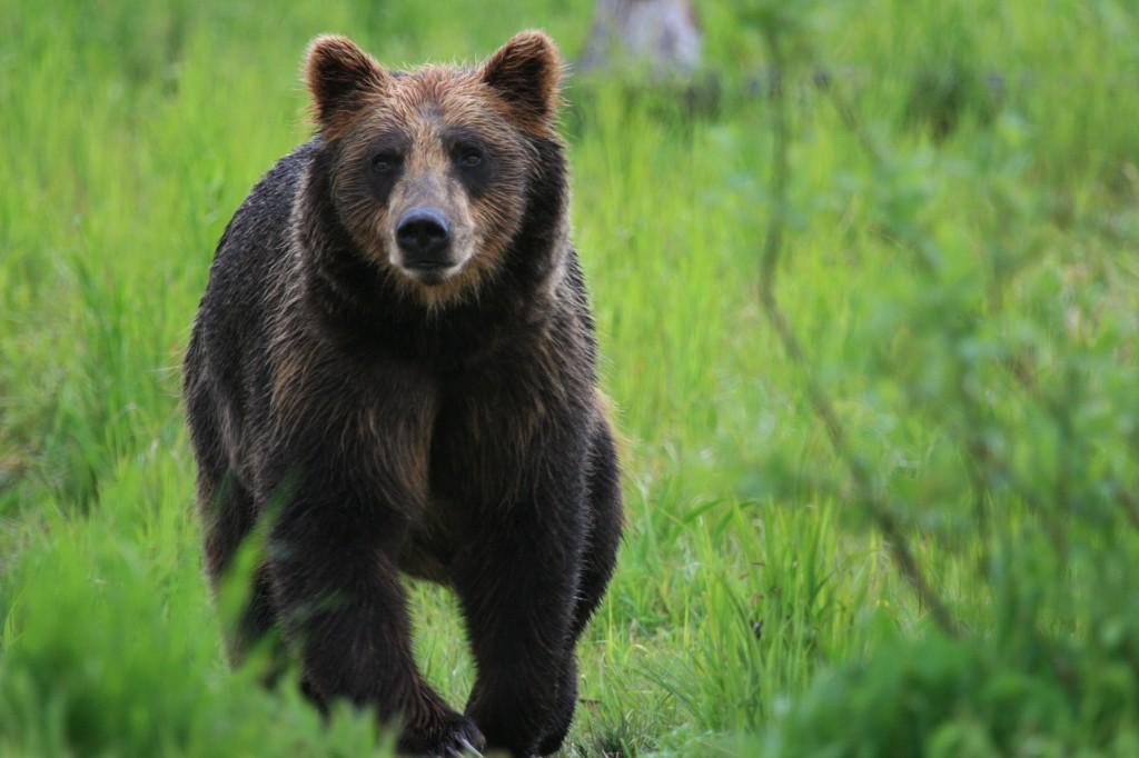 Медведь хозяин тайги