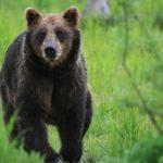 Медведь. Хозяин тайги