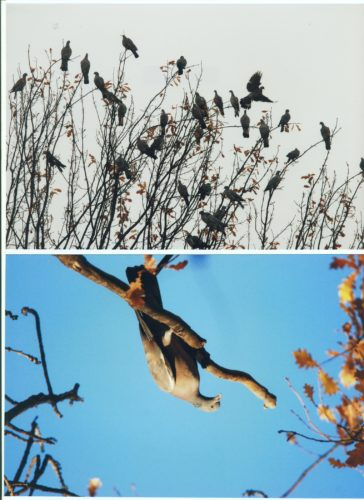 охота на голубя