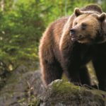 У медведя зубы острые,  когти крепкие, лапы цепкие…