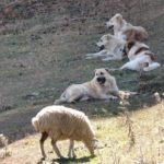 Нагази: грузинская горная, она же - волкодав